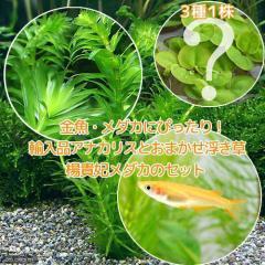 (めだか 水草)楊貴妃メダカ(4匹)+ アナカリス(輸入品)(5本)+おまかせ浮き草3種