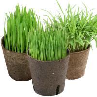 (観葉)猫草 おまかせやわらか生牧草 直径8cmECOポット植え(無農薬)(2ポット) 猫草