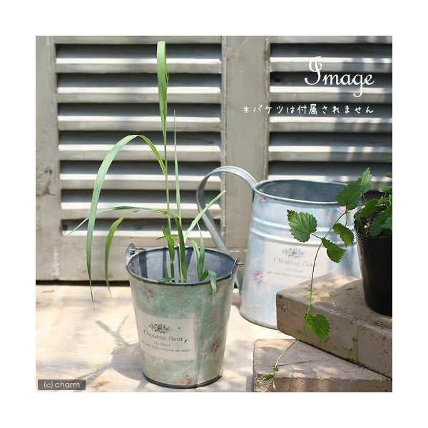 (観葉植物)ハーブ苗 レモングラス 西インド型 3.5号(1ポット) 家庭菜園
