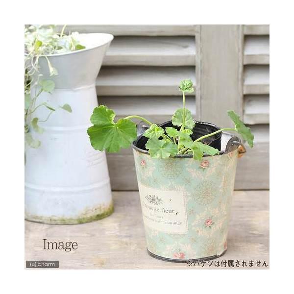 (観葉植物)ハーブ苗 ゼラニウム アップル 3号(1ポット) 家庭菜園
