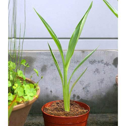 (ビオトープ/水辺植物)カンナ フラッキダ(1ポット分)