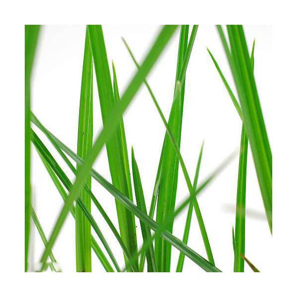 (ビオトープ/水辺植物)シペルス ロングス(1ポット分)