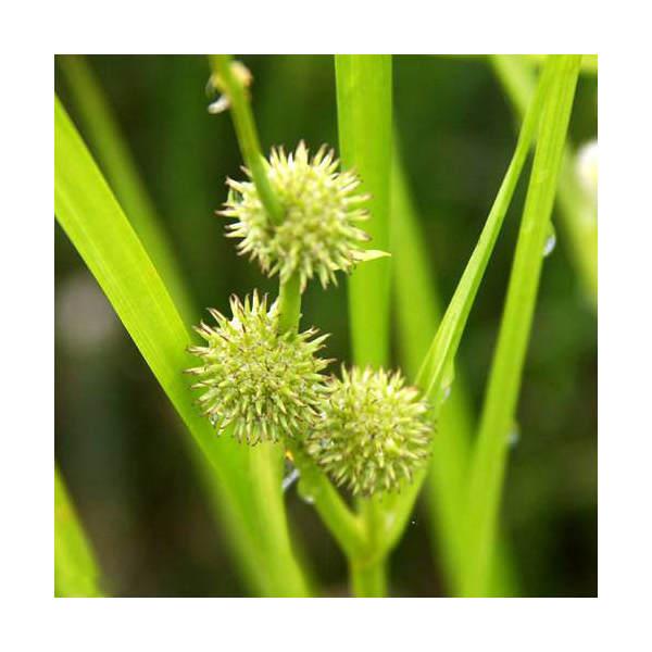 (ビオトープ/水辺植物)ミクリ(1ポット)