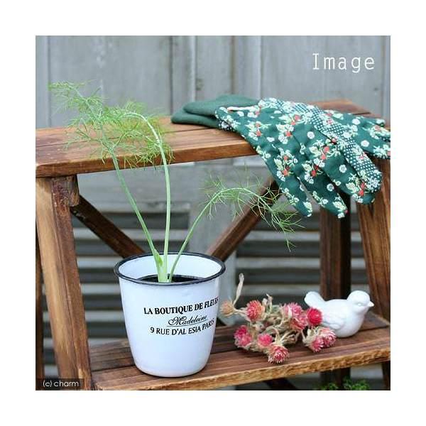 (観葉植物)ハーブ苗 フェンネル フローレンス 3号(1ポット) 家庭菜園 北海道冬期発送不可