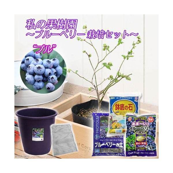 (観葉植物)私の果樹園 ブルーベリー栽培セット(プル)(苗木・土・プランター・肥料他6点) 家庭菜園 お一人様5点