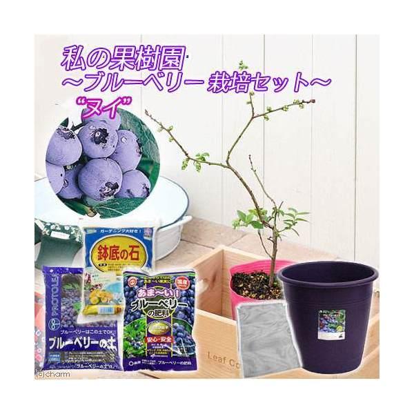 (観葉植物)私の果樹園 ~ブルーベリー栽培セット(ヌイ)~(苗木・土・プランター・肥料他6点セット)家庭菜園 お一人様5点限り