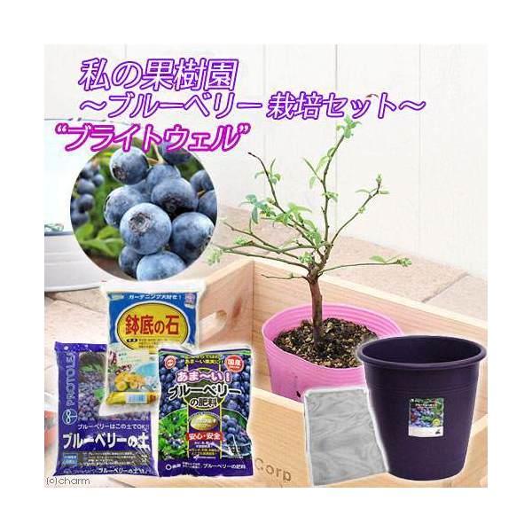 (観葉植物)私の果樹園 ~ブルーベリー栽培セット(ブライトウェル)~(苗木・土・プランター・肥料他6点セット)家庭菜園 お一人様5点限り