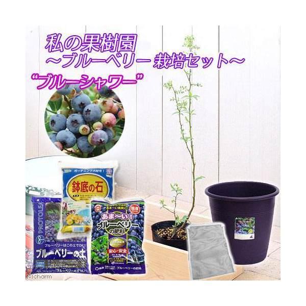 (観葉植物)私の果樹園 ブルーベリー栽培セット(ブルーシャワー)(苗木・土・プランター他6点) 家庭菜園 お一人様5点 北海道冬期発送不可