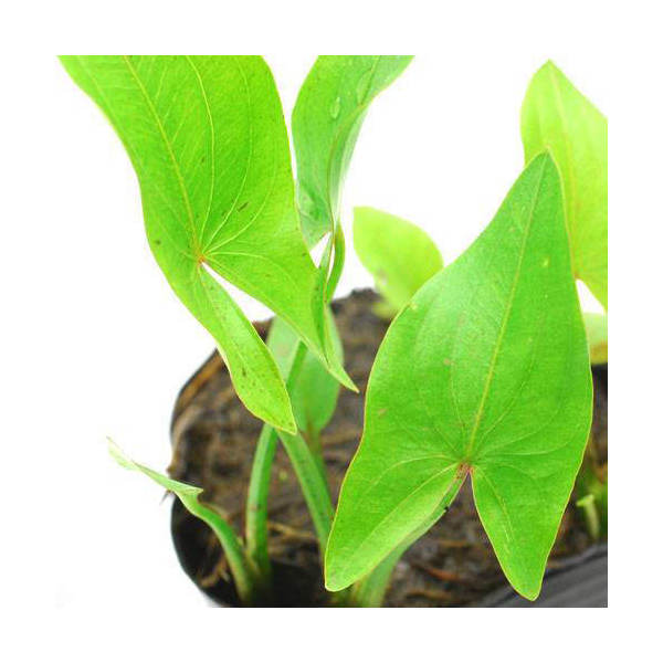 (ビオトープ/水辺植物)サジタリア ラティフォリア(1ポット)