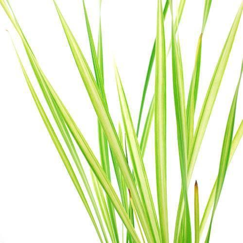 (ビオトープ)水辺植物 フイリコガマ(1ポット分) (休眠株)