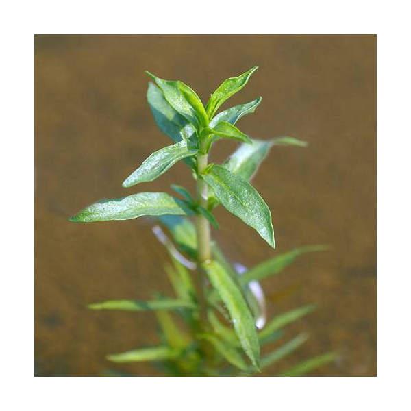 (ビオトープ/水辺植物)ハーツペニーロイヤルミント(1ポット分)