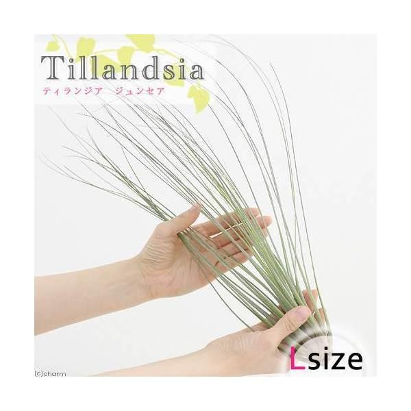(観葉植物)エアープランツ ティランジア ジュンセア Lサイズ(1株)