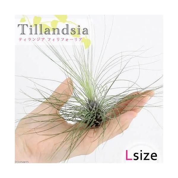 (観葉植物)エアープランツ ティランジア フィリフォリア Lサイズ(1株)