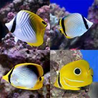 (海水魚)沖縄産 チョウチョウウオミックス(3匹) 北海道航空便要保温