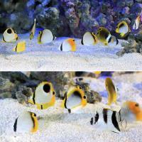 (海水魚)沖縄産 チョウチョウウオミックス SSサイズ(3匹) 北海道航空便要保温