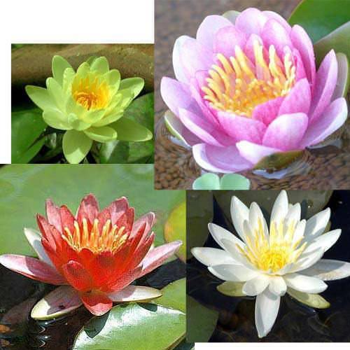 (ビオトープ/睡蓮)温帯性睡蓮(スイレン)4色セット 赤・桃・黄・白(各1株ずつ)(休眠株)