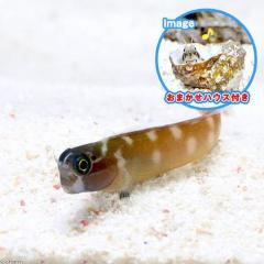 (海水魚)おまかせハウスとドットダッシュブレニー(1セット)