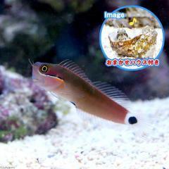 (海水魚)おまかせハウスとスポットテールブレニー(1セット)