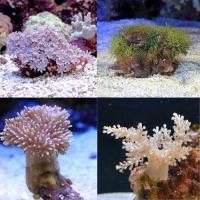 (海水魚 サンゴ)お一人様1点限り おまかせプチサンゴ(ソフトコーラル)(5個)