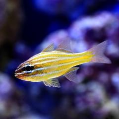(海水魚)沖縄産 キンセンイシモチ(5匹) 北海道・九州航空便要保温