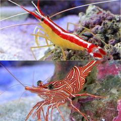 (海水魚)エビ ダンシングクリーナーシュリンプセット(スカンクシュリンプMサイズ2匹+キャメルシュリンプ3匹) 沖縄別途送料