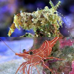 (海水魚)エビ フシウデサンゴモエビ+キャメルシュリンプ(各3匹)サロンシュリンプ