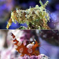 (海水魚)エビ イソギンチャクモエビ+フシウデサンゴモエビ(各3匹)サロンシュリンプ