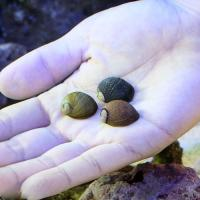 (海水魚 貝 無脊椎)海洋性カノコガイ Mサイズ コケの掃除(3匹) 北海道・九州航空便要保温