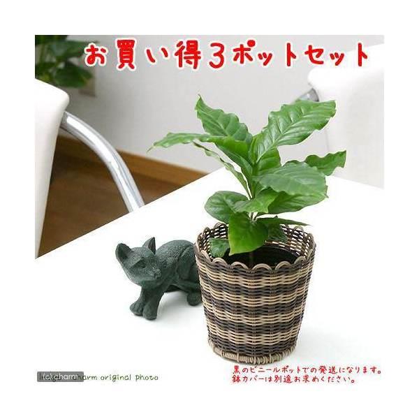(観葉植物)コーヒーの木 3号(お買い得3ポットセット)