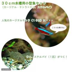 (熱帯魚)30cm水槽用小型魚セット(カージナルテトラ10匹+Co.ステルバイ1匹) 北海道・九州・沖縄航空便要保温