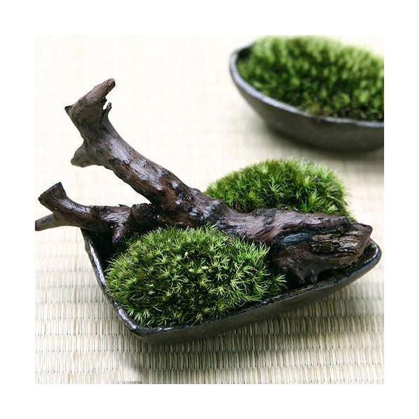 (観葉植物/苔)私の小さな苔盆栽 ~わびさび益子焼角鉢とコケと流木のセット~ 本州・四国限定