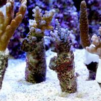 (海水魚 サンゴ)インドネシア産 おまかせミドリイシ プラグ付き(5個) 北海道航空便要保温