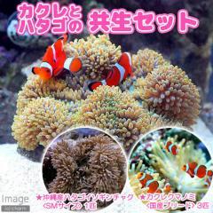 (海水魚)カクレクマノミ(3匹)+沖縄産 ハタゴイソギンチャク SMサイズ 共生セット(1セット) 沖縄別途送料