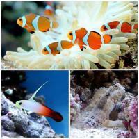 (海水魚)カクレクマノミ(2匹)と愉快な仲間たち 1セット 熱帯魚