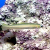 (海水魚)沖縄産 イトマンクロユリハゼ Sサイズ(5匹) 北海道・九州航空便要保温