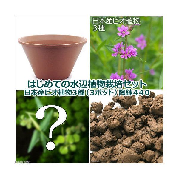 (ビオトープ/水辺植物)はじめての水辺植物栽培セット 日本産ビオ植物3種(3ポット) 陶鉢440 本州・四国限定