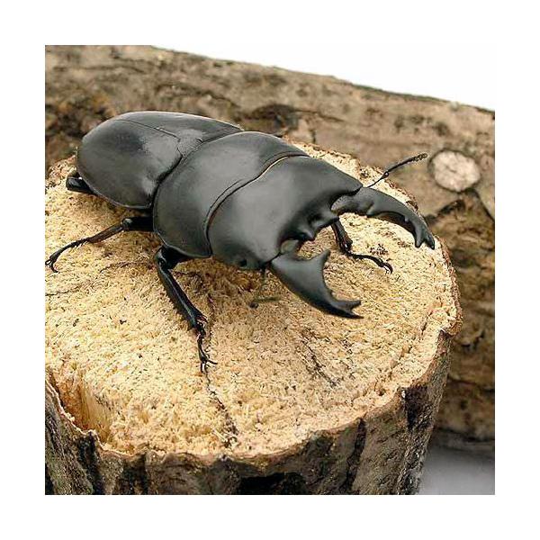 (昆虫)アルキデスヒラタクワガタ 短歯型 スマトラ ベンクール産 成虫(WD)80~84mm(1ペア) 北海道・九州航空便要保温