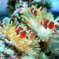 (海水魚 熱帯魚)カクレクマノミ(国産ブリード)(2匹) 北海道・九州航空便要保温