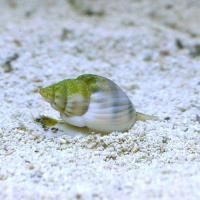 (海水魚)貝 イボヨウバイ 底砂とその他の掃除(2匹) 北海道・九州航空便要保温