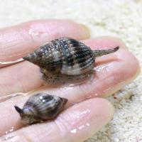 (海水魚)貝 リュウキュウムシロガイ 底砂とその他の掃除(2匹) 北海道・九州航空便要保温