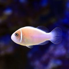 (海水魚)ハナビラクマノミ(ワイルド)(3匹) 北海道・九州航空便要保温