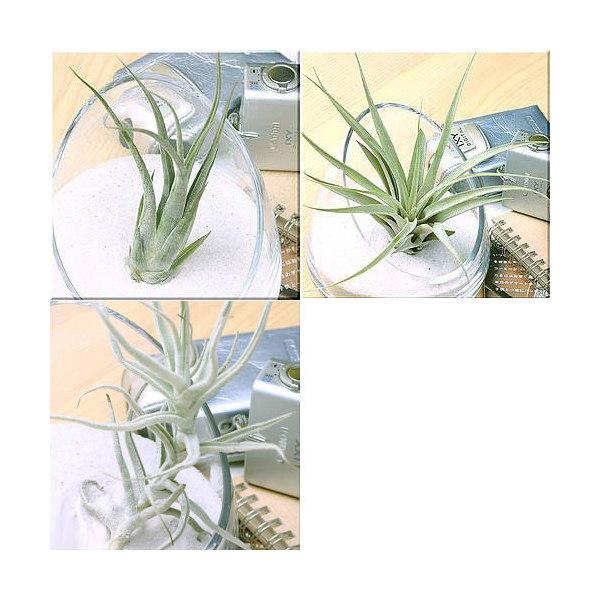 (観葉植物)エアープランツ 銀葉3種セット