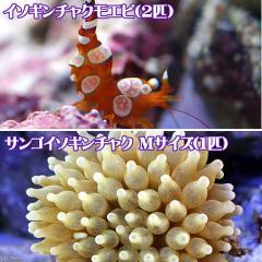 (海水魚)エビ サンゴイソギンチャク(1匹)+イソギンチャクモエビ(2匹)セット