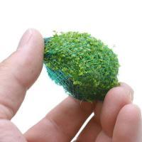 (水草)巻きたて キューバパールボール(無農薬)(10個)