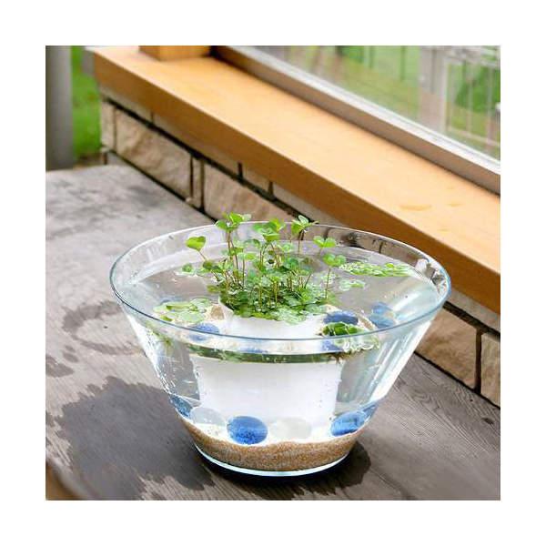 (ビオトープ/水辺植物) 窓辺の幸運 quattuor ウォータークローバームチカのセット 本州・四国限定