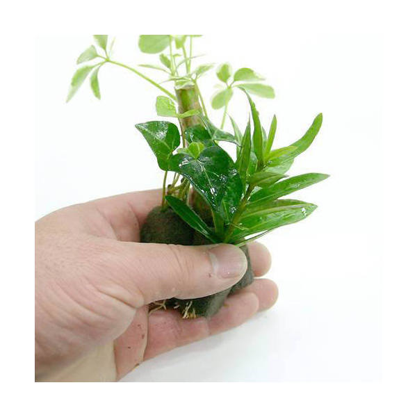 (観葉植物)ミニ観葉 おまかせオアシス苗(お買い得2苗セット)