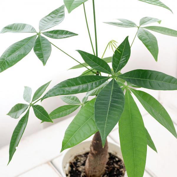 (観葉植物)パキラ 4号( 5鉢セット)