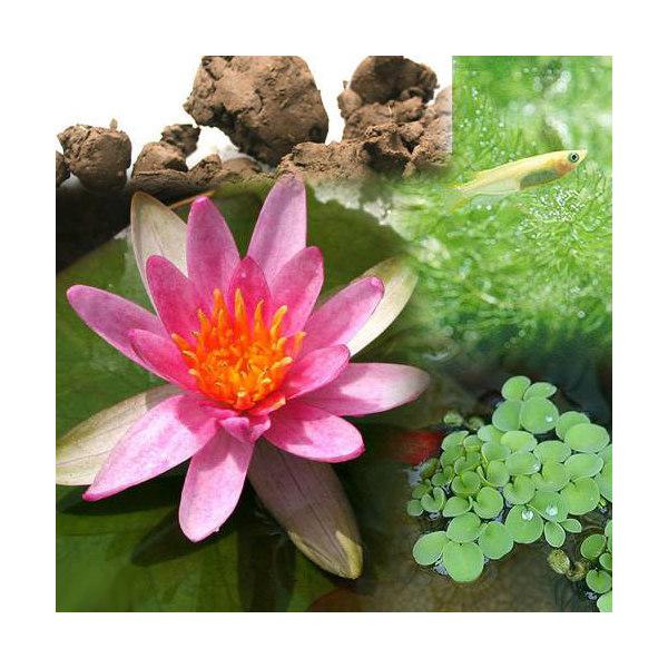 (ビオトープ/睡蓮)ビオ植物とメダカセット 姫睡蓮(ヒメスイレン) 赤 鉢なしセット本州・四国限定
