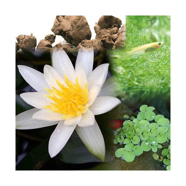 (ビオトープ)(めだか)ビオ植物とメダカセット 姫睡蓮(ヒメスイレン) 白 鉢なしセット本州・四国限定