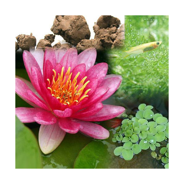 (ビオトープ/睡蓮)ビオ植物とメダカセット 睡蓮(スイレン) 赤 鉢なしセット 本州・四国限定